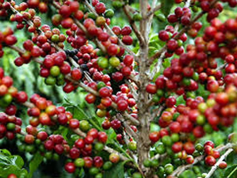 Café: Bolsa de Nova York testa recuperação nesta 4ª feira, mas volta a cair e fecha no patamar mais baixo desde agosto