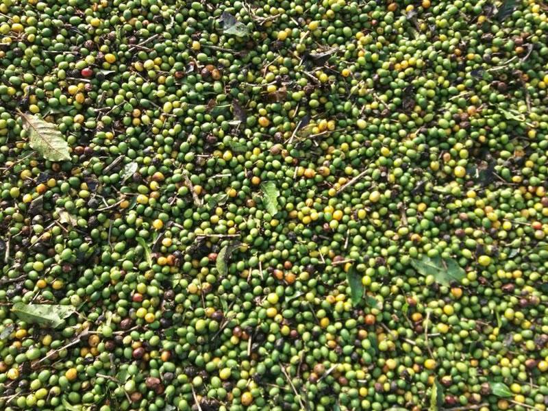 Nova técnica de colheita de café traz economia de tempo e custos